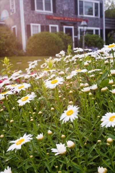 Montauk daisies in teh sunlight