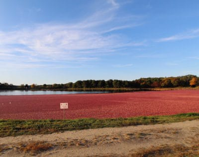 Cranberry bogs being harvested